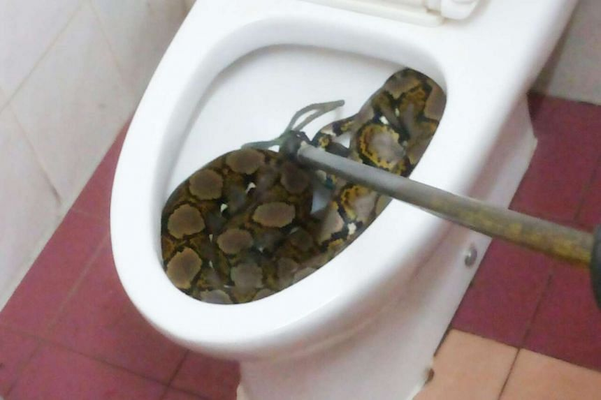 Klang resident Kamarunesa Mohd Kassim was shocked to find a python curled up in her toilet bowl.