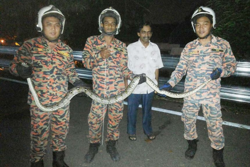 Malaysian civil defence officers with the python after they captured it.