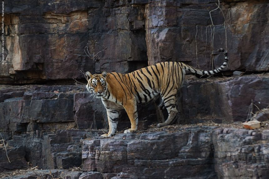 India's most famous tiger, Machli, died on Thursday, Aug 18, 2016.