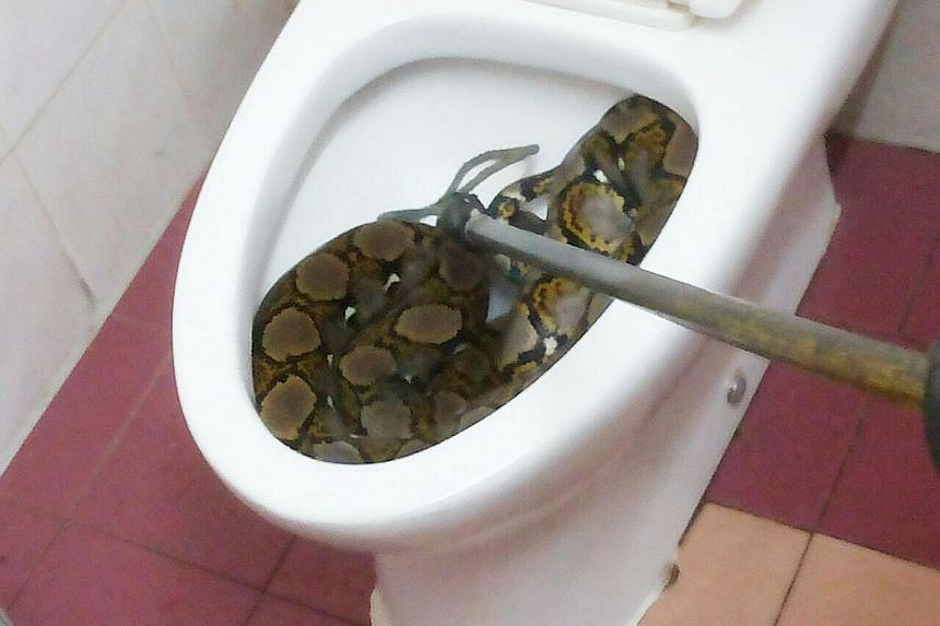 "This python curled up in a toilet bowl in a house in Klang, Malaysia, gave resident Kamarunesa Mohd Kassim, 40, a fright on Monday. ""The snake was quite big. I immediately closed the bowl lid with a log and put a pail on top of it,"" she told Malaysia"