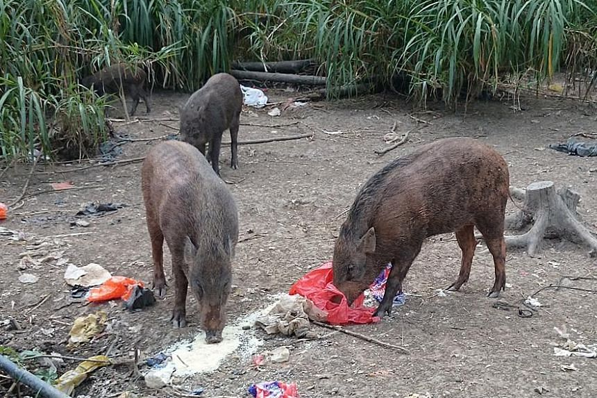 People have been seen feeding wild boars in the Lorong Halus area, raising concerns.
