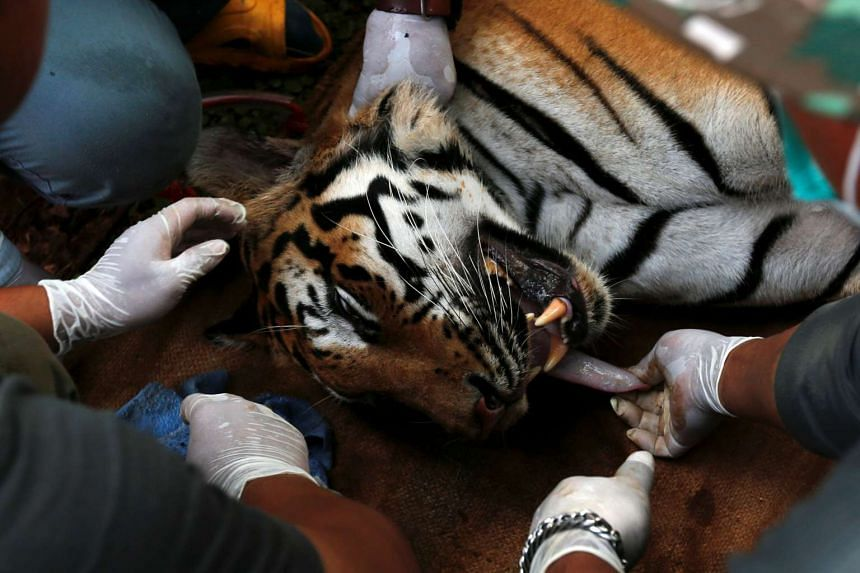 A sedated tiger is stretchered as officials move live tigers from the controversial Tiger Temple in Thailand on June 3, 2016.