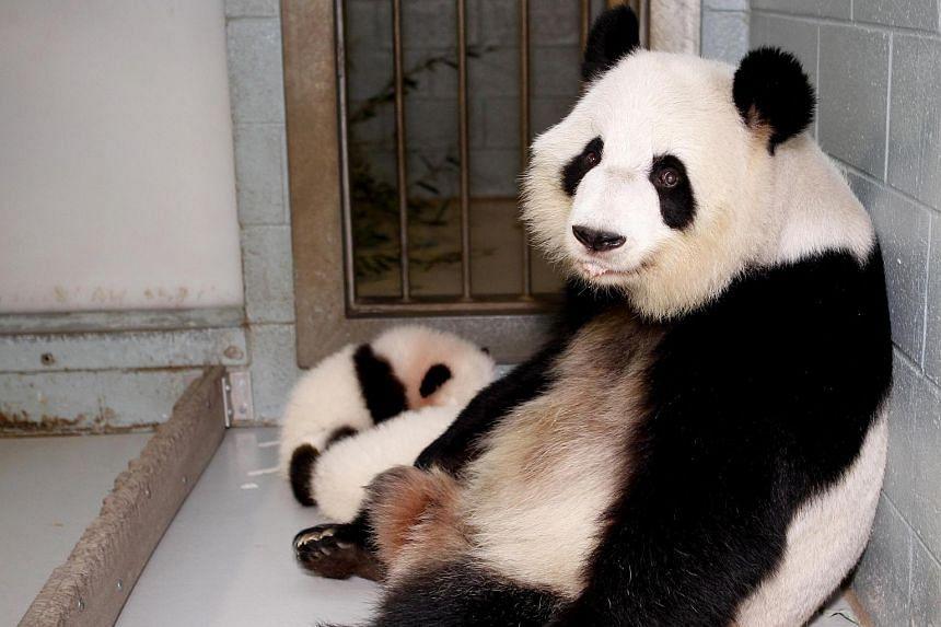 Giant Panda Lun Lun relaxing with her twin panda cubs Mei Lun and Mei Huan next to her at the Atlanta Zoo in November 2013.