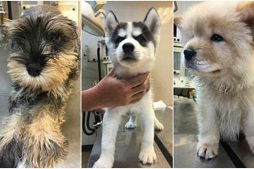 The puppies undergoing health checks at AVA's Sembawang Animal Quarantine Station.