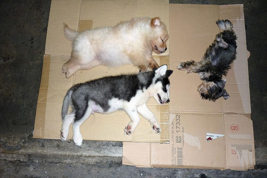 Immigration officers at Woodlands Checkpoint found the three sedated puppies hidden inside a modified speaker box in Loh Chee Chiang's car boot and referred the case to the AVA.