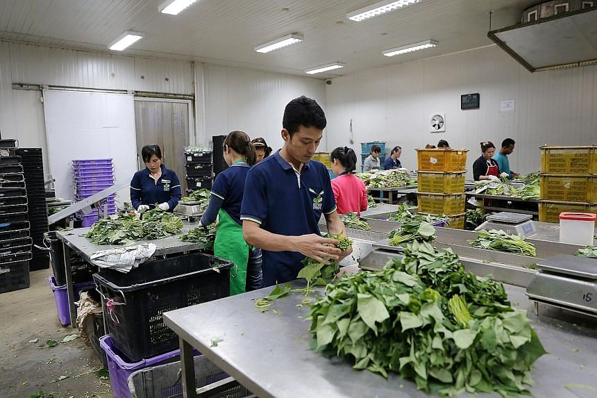 """Keeping up with the times: Kok Fah Technology Farm uses a composting machine, a """"plug popper"""" to extract seedlings before replanting, and an automatic irrigation system."""