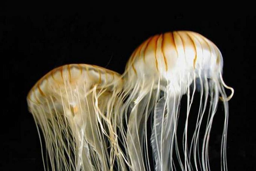 Images of jellyfish.