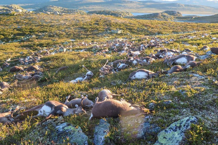 Dead reindeer were found lying on top of each other, many with their antlers entangled, after the thunderstorm on the Hardanger plateau in southern Norway on Friday.