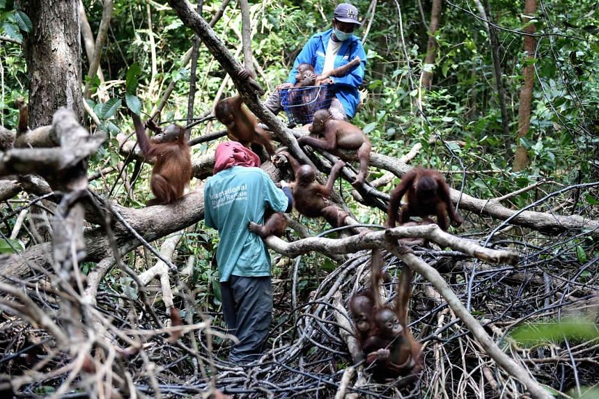 """Orphaned orang utan babies playing with their animal welfare workers during """"jungle school"""" at the International Animal Rescue centre outside the city of Ketapang in West Kalimantan, on Aug 4, 2016."""