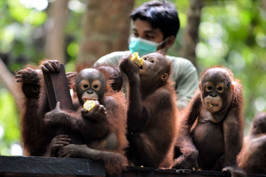 Orphaned orang utan babies eating corn during school lunch at the International Animal Rescue centre outside the city of Ketapang in West Kalimantan, on Aug 4, 2016.