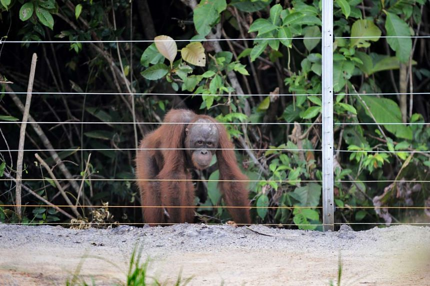 An orang utan looks at the electric fence at the International Animal Rescue centre outside the city of Ketapang in West Kalimantan, on Aug 4, 2016.