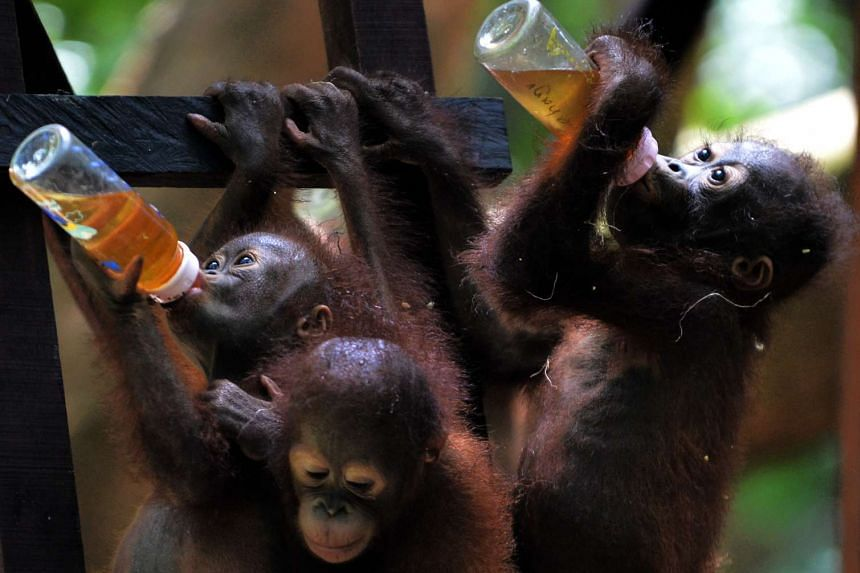 Orphaned orang utan babies drinking from bottles during school lunch at the International Animal Rescue centre outside the city of Ketapang in West Kalimantan, on Aug 4, 2016.