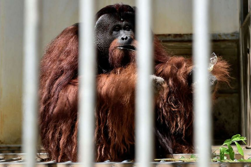 A male adult orang utan eating a snack at the International Animal Rescue centre outside the city of Ketapang in West Kalimantan, on Aug 4, 2016.