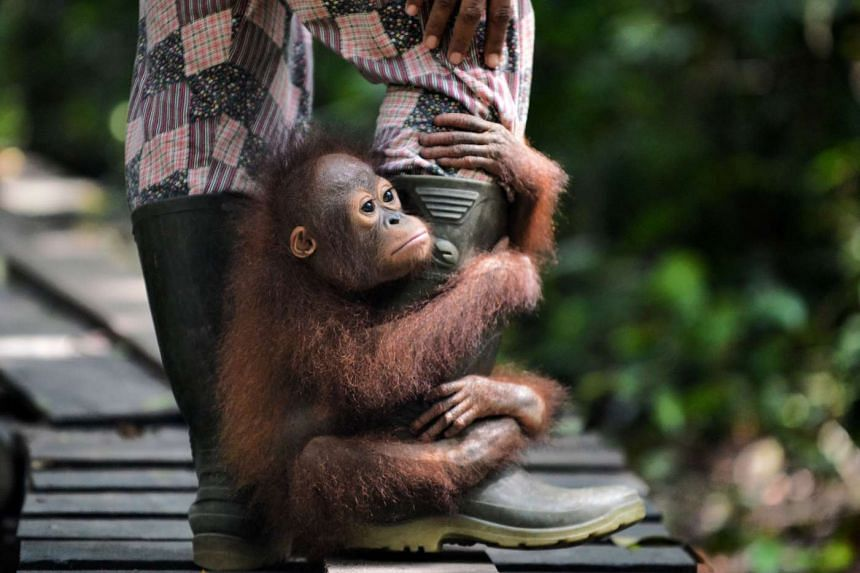 """An orphaned orang utan baby holding on to the leg of an animal welfare worker as they travel from """"jungle school"""", a lunch area at the International Animal Rescue centre outside the city of Ketapang in West Kalimantan, on Aug 4, 2016."""