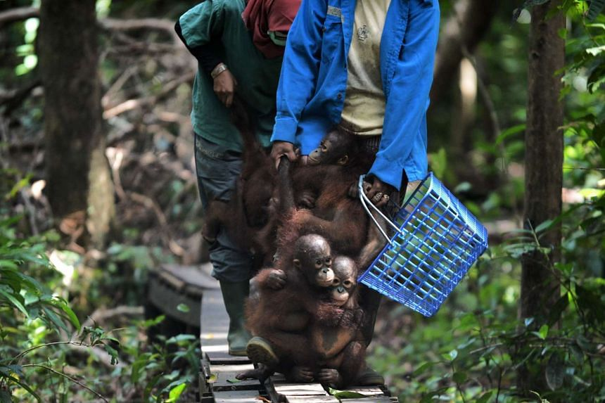 """Orphaned orang utan babies holding on to the legs of their animal welfare workers as they travel from """"jungle school"""" to their lunch area at the International Animal Rescue centre outside the city of Ketapang in West Kalimantan, on Aug 4, 2016."""
