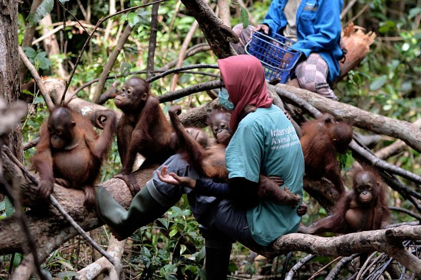"""Orphaned orang utan babies playing with their animal welfare workers whilst attending """"jungle school"""" at the International Animal Rescue centre outside the city of Ketapang in West Kalimantan, on Aug 4, 2016."""