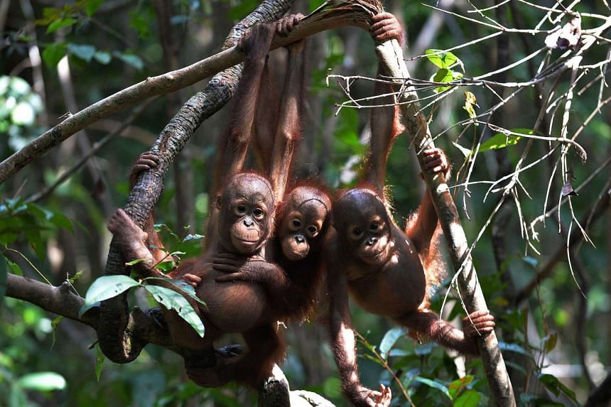 """Three orphaned orang utan babies hanging on a tree whilst attending """"jungle school"""" at the International Animal Rescue centre outside the city of Ketapang in West Kalimantan, on Aug 4, 2016."""
