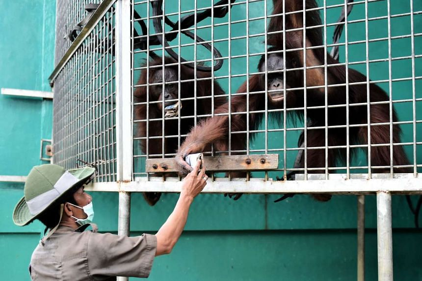 Orang utans receive snacks from an animal welfare worker, outside the city of Ketapang in West Kalimantan, on Aug 4, 2016.