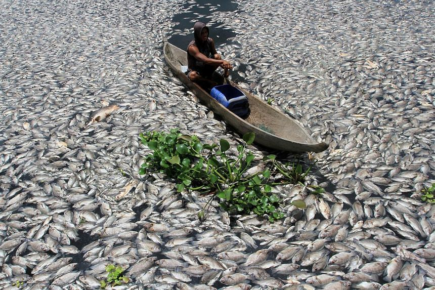 A man steering a boat through dead fish in a breeding pond at Lake Maninjau in Indonesia yesterday. Thousands of fish at the fish farm in Agam regency in West Sumatra province died suddenly due to lack of oxygen caused by a sudden change in water con