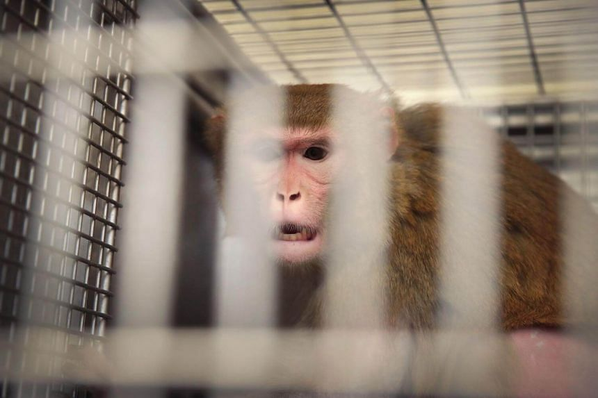 A pregnant rhesus macaque monkey infected with the Zika virus sitting in its cage at the Wisconsin National Primate research Center at the University of Wisconsin-Madison on June 28.