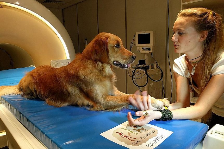 """A golden retriever interacting with researcher Anna Gabor. Using brain activity images, scientists in Hungary found that dogs processed familiar words like """"that's it"""" and """"clever"""" regardless of intonation, and they did so using the left hemisphere,"""