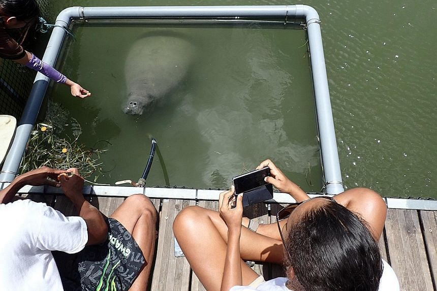 Kai (above) getting a piece of carrot in Guadeloupe. (Below) Mr So accompanied the manatees there from Singapore.