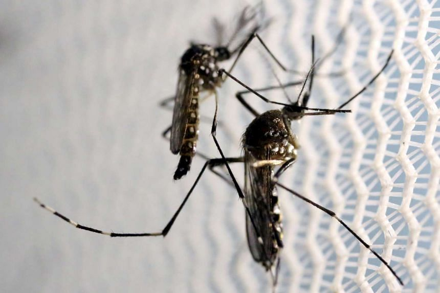 Aedes aegypti mosquitoes are seen at a laboratory in Campinas, Brazil, on Feb 2, 2016.
