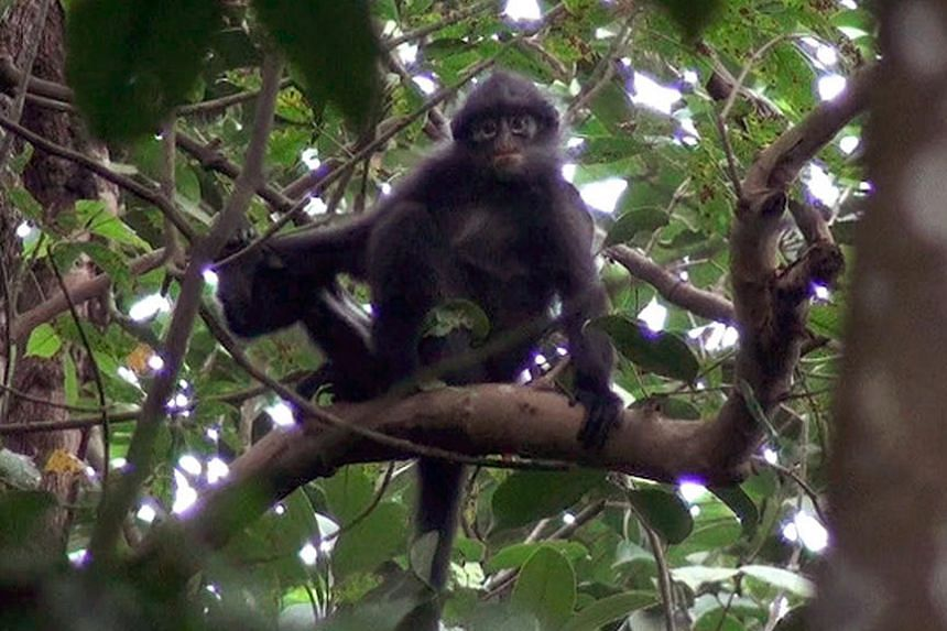 The Banded Leaf Monkey is facing a risk of extinction as there are only about 40 left in the wild.