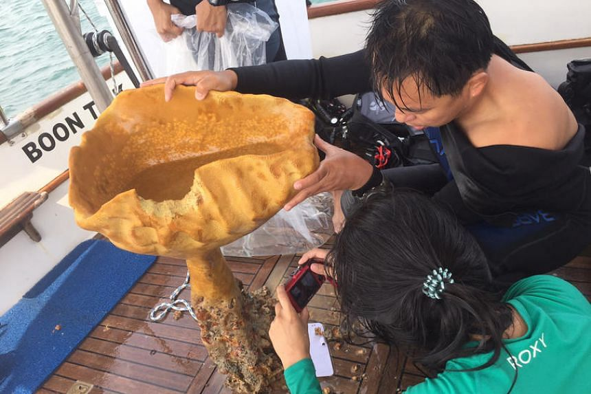 A specimen of the Neptune's cup sponge being relocated to the Sisters' Islands Marine Park, as part of NParks' species recovery efforts.