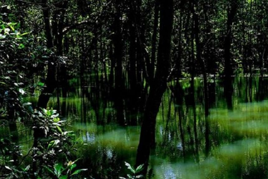 Singapore has eight mangrove forests on its mainland.