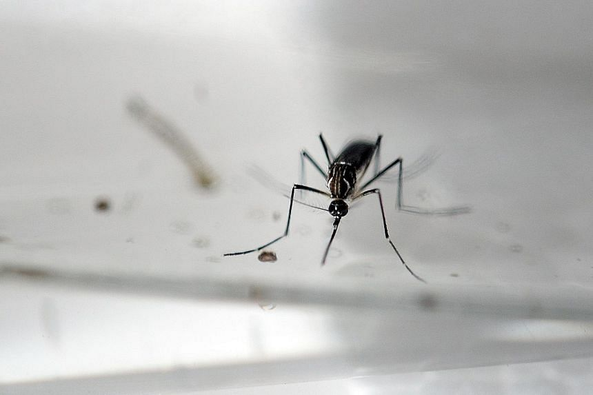The Aedes aegypti mosquito, which can carry the dengue and Zika viruses, breeds extremely fast in small pockets of standing water and is difficult to find.