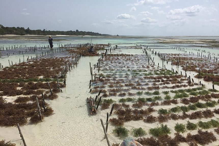 A seaweed farm in Tanzania on July 6. The country's seaweed farms, as well as those in Mozambique, have been hit by a bacterial disease spread via a red seaweed from the Philippines.