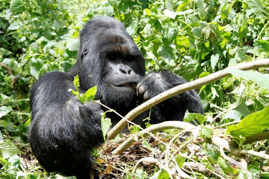 An endangered silverback mountain gorilla feeds in Virunga national park near Goma in eastern Democratic Republic of Congo.