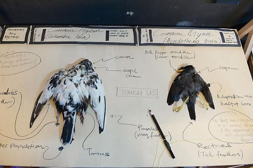 Taxidermy As Method exhibit: A common pigeon and a common myna laid out on a table for the public to explore.