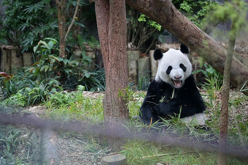 """Through its """"rent-a-panda"""" captive breeding scheme, China has loaned some bears to zoos abroad in exchange for cash, and reinvested that money in conservation efforts."""