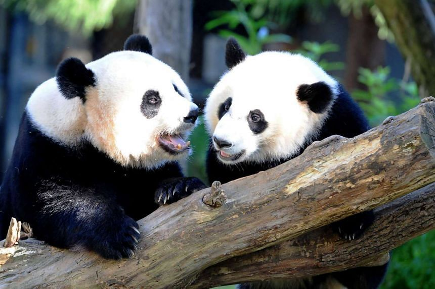Giant pandas Mei Xiang (left) and her cub Bei Bei play in their enclosure at the National Zoo in Washington, DC.