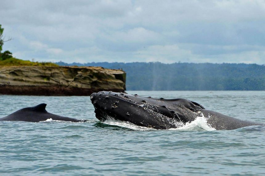 A humpback whale and her baby swim in the Pacific Ocean at the Uramba Bahia Malaga natural park in Colombia.