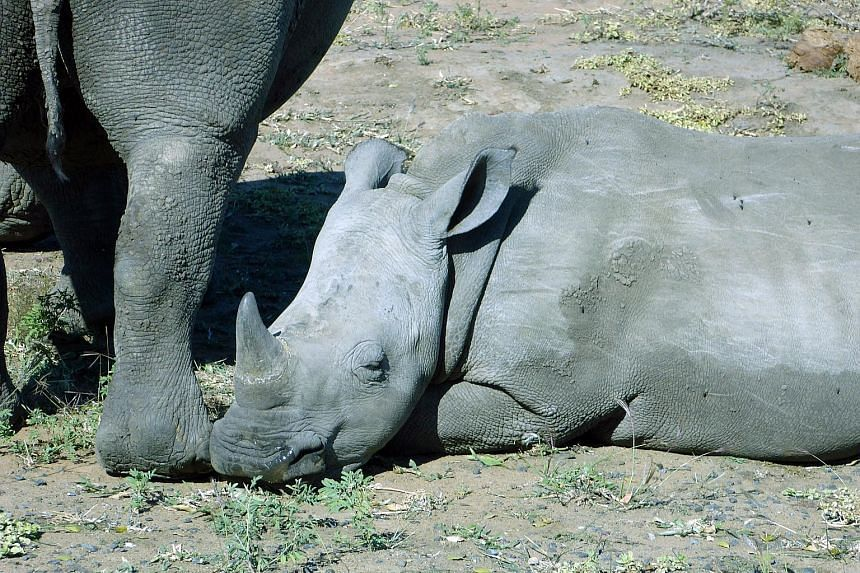 International conservation scientists say an extinction crisis is unfolding for large mammals, including rhinoceroses.