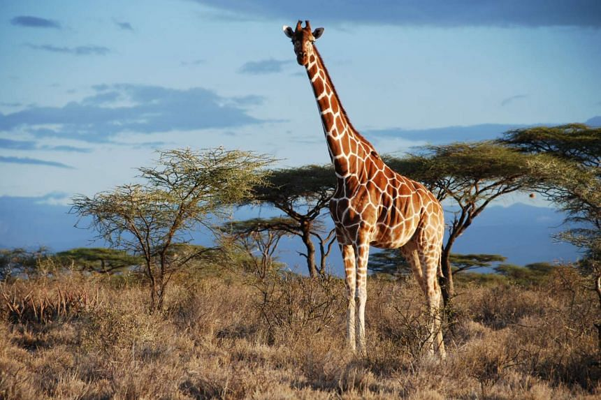 A reticulated giraffe is seen in Samburu National Park, Kenya in this undated handout picture. There are actually four species of giraffes, not one as previously believed, researchers said on Sept 8.