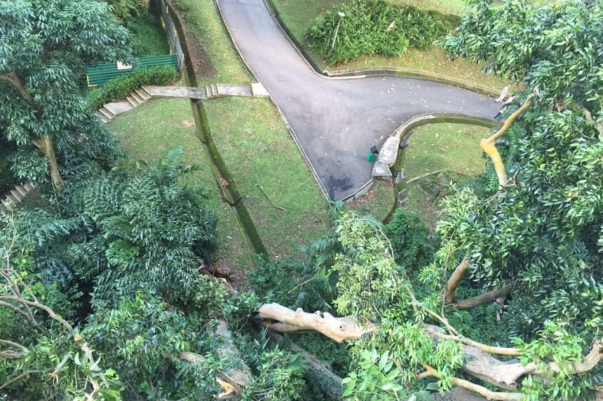 At least six apartments were affected when a heritage tree fell on Pearl Bank Apartments on Sept 11, 2016.