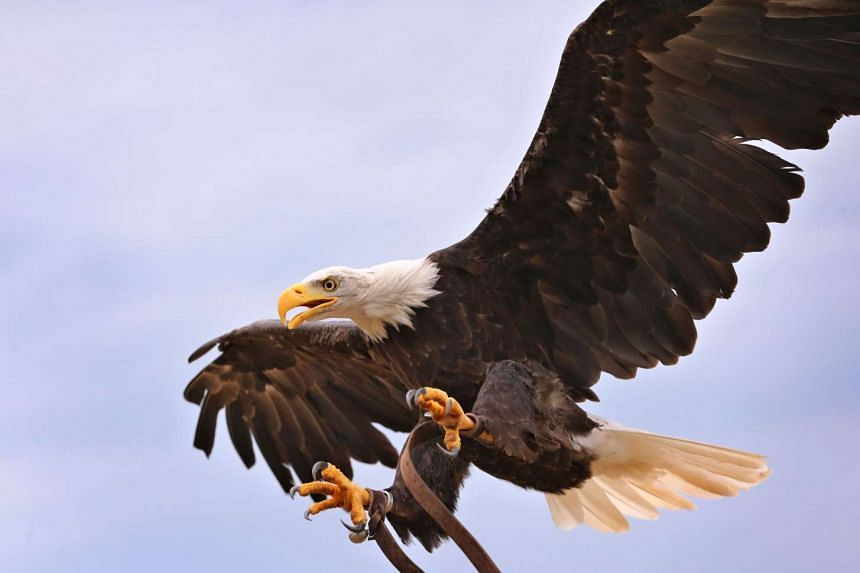 The Dutch police will be employing eagles to counter drones whenever the latter are believed to be posing a danger to the public.