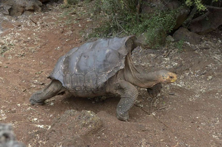 Diego, a tortoise of the endangered Chelonoidis hoodensis subspecies from Española Island, is seen in a breeding centre at the Galapagos National Park on Sept 10, 2016.