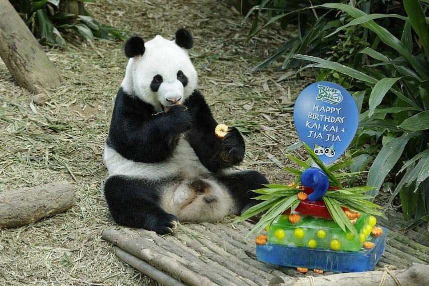 Giant panda Kai Kai enjoys his ice cake at River Safari.