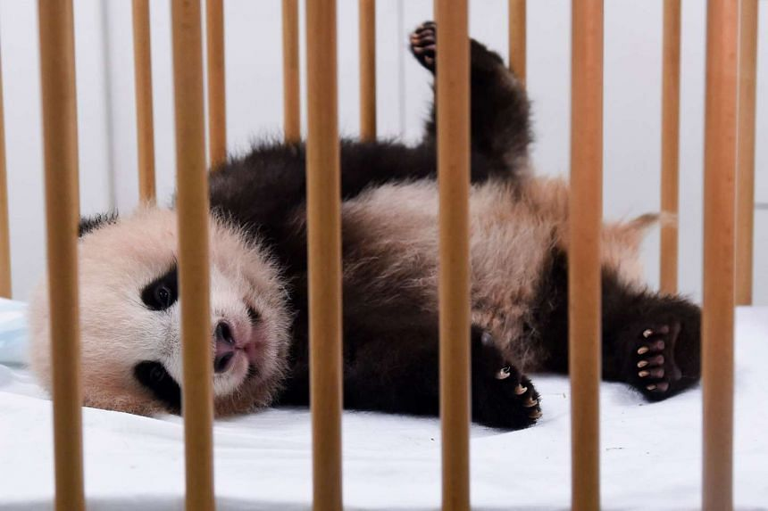 Three-month-old baby panda Tian Bao is pictured during a press conference at the Pairi Daiza animal park in Belgium on Sept 15, 2016.