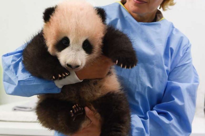 Baby panda Tian Bao trying to escape from zookeeper Tania Stroobant at the Pairi Daiza animal park in Belgium, on Sept 15, 2016.