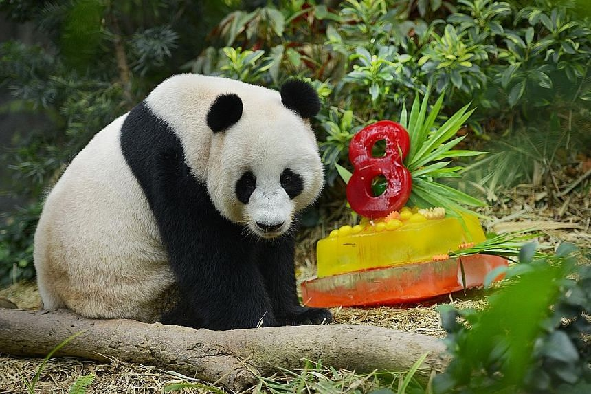 Giant pandas Kai Kai and Jia Jia celebrated their birthdays - and their fourth year in Singapore - with special cakes yesterday. Keepers at River Safari made the honey-flavoured ice cakes, topped off with apple and carrot slices, for them. The male p