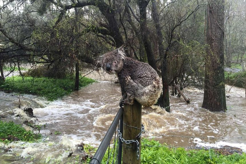 Soaked by floodwaters, the koala sits atop a fence post to escape the deluge in the town of Stirling.