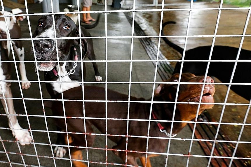 Dogs under quarantine at Sunny Heights in July. The centre has put in place measures to prevent disease transmission and its staff are trained to closely monitor the dogs for clinical signs of disease or abnormalities.