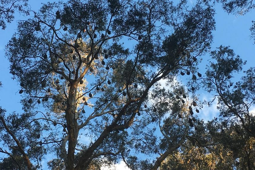 A colony of bats, believed to number about 15,000, dangling from trees in Sydney's Centennial Park.