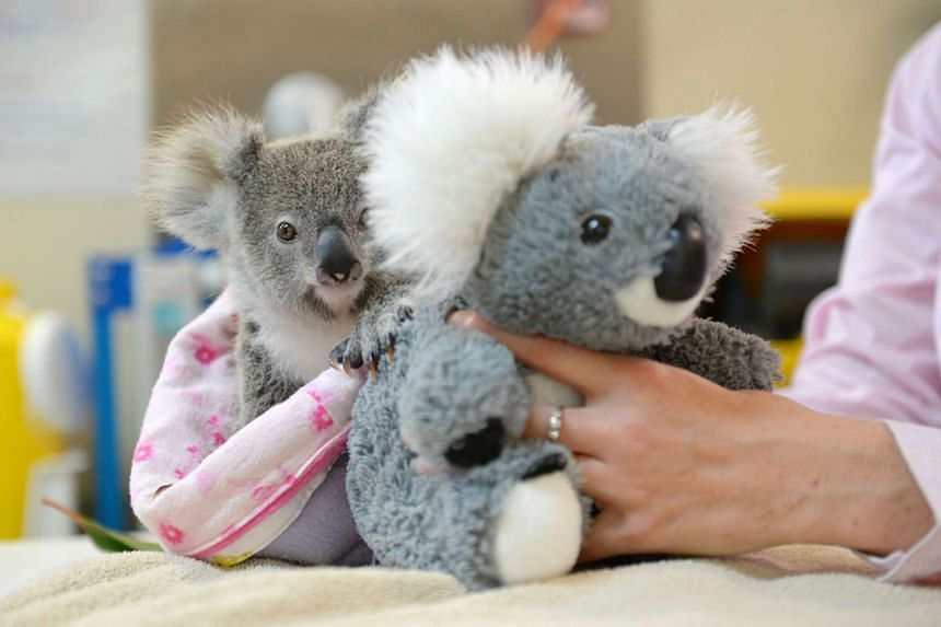 Shayne, a nine-month-old orphaned baby koala, clings onto the back of a toy koala as he might his real mother, who was hit and killed by a car.
